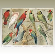 1900: Parrots: Very decorative Chromo Lithograph