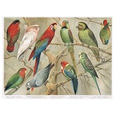 1902: Parrots: Very decorative Chromo Lithograph