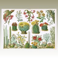 Colorful Chromolithograph of Cactuses from 1902