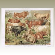 Cattle: Very decorative Chromo Lithograph from 1900