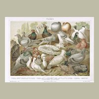 Pigeons: Antique Chromo Lithograph from 1898
