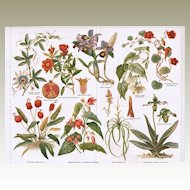 Indoor Plants: Set of 2 decorative, antique Lithographs