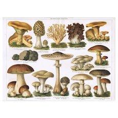 Mushrooms: 2 Antique Chromo Lithographs from 1898