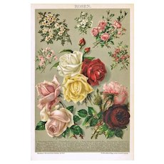 Roses. Color Chromo Lithograph from 1898