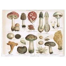Mushrooms. Antique Chrome Lithograph 1898