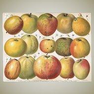 Apples: Very decorative, antique Chromo Lithograph. 1900
