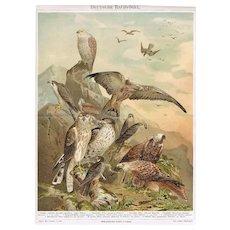 1898: German Raptors. Antique Chromolithograph from 1898
