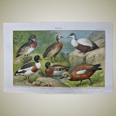 Ducks. Decorative Chromo Lithograph 1900