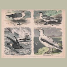 Antique Engraving Sea-fowl from 1870s - 1880s