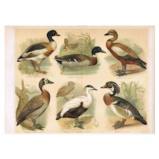 Ducks: Decorative antique Lithograph from 1898