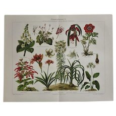 Two Antique Lithographs related to House Plants 1900