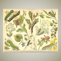 Decorative Chromo Lithograph: Caterpillars. 1902