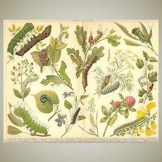 Decorative Chromo Lithograph: Caterpillars. 1902