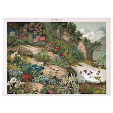 Flowers from Alpine Region. Chromolithograph from 1902