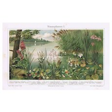 Water Plants Two Old Lithographs from 1902
