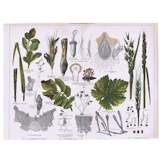 Diseases of Plants Old Lithograph from 1902
