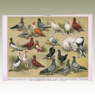 Pigeons. Decorative Chromolithograph from 1900