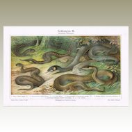 Snakes Old Chromo Lithograph from 1900
