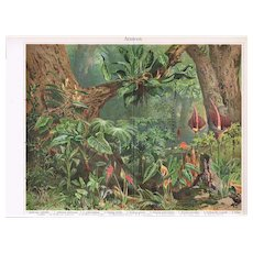 Arazeen: Most attractive Antique Lithograph of Tropical Wood