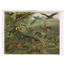 Neotropic Fauna. Decorative Chromo Lithograph from 1901