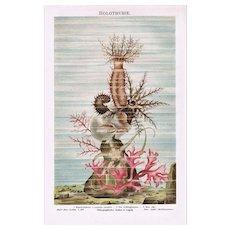 Sea Cucumber Chromo Lithograph 1898