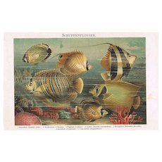 Fish. Decorative Chromolithograph from 1898