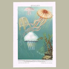 Jellyfish Lithograph from 1900