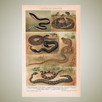 Snakes. Decorative Chromo Lithograph of Snakes from 1898