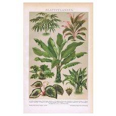 Foliage Plants Antique Monochrome Lithograph 1898