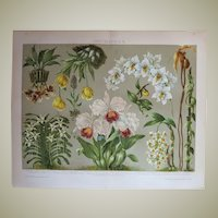 Orchids Antique Chromo Lithograph from 1898