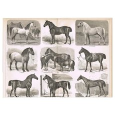Breeds of Horses Antique Print from 1898