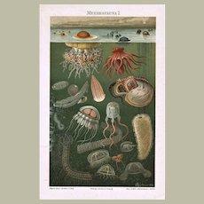 Deep Sea Fauna Two Chromo Lithographs 1898