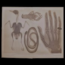 X-rays. Antique Lithograph from 1898 - Red Tag Sale Item