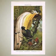 Birds of Paradise. Decorative Chromolithograph.