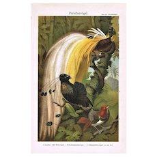 Birds of Paradise. Decorative Chromolithograph.