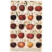 Cherries: Decorative, antique Lithograph from 1900