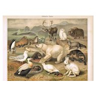 Arctic Fauna: Most attractive Antique Lithograph. 18 Animals, 1898