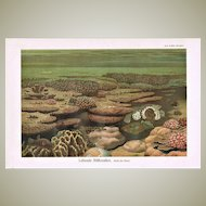 Living Coral Reef Chromo Lithograph from 1900