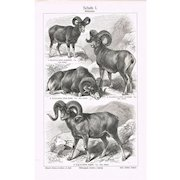 Wild Sheep Chromo Lithograph from 1900