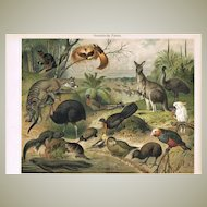 Australian Fauna Outstanding Antique Lithograph 17 Animals 1900