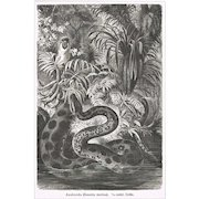 Constrictor Chromo Lithograph from 1900