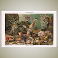 Sea Anemone: Decorative, antique Lithograph from 1900