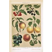 Stone Fruit: Decorative, antique Lithograph from 1900