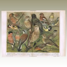 Cage Birds: Most attractive Antique Lithograph. 15 Animals, 1898