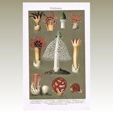 Mushrooms in Full Bloom: Antique Chromo Lithograph 1898
