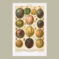 Plums. Old Chromolithograph from 1902