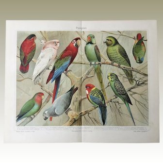 Parrots: Very decorative Chromo Lithograph from 1902