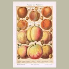 Peaches and Apricots Antique Lithograph