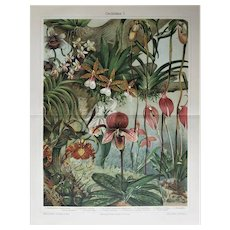Orchids. Decorative Chromo Lithograph from 1900