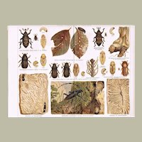 2 Decorative Chromo lithographs of Insects Beetles, Destroyers of Wood. 1898